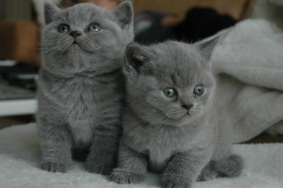 kotki dwa szare